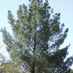 سوزنی برگان در ایران - planting conifers in Iran