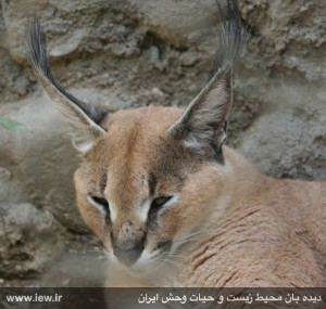 Caracal_Iran_Lorestan_injured_by_shutgun