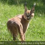 Caracal_Iran_Lorestan_release1