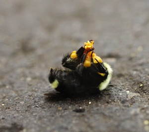 bumble bee kill death Oregon