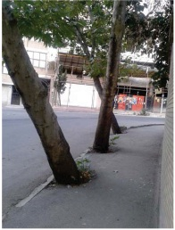 يك نمونه ديگر درخت کاری در تهران، واقعا قابل تاسف است. مسولين بي احساس مسوليت و رهگذران بي تفاوت !