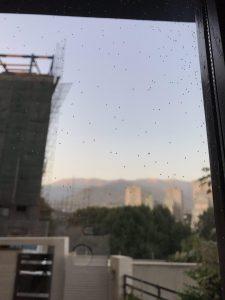 سفیدبالکان توت (Aleuroclava jasmin) پشت شیشه پنجره در تهران. عکس از: ف. حسین نژاد