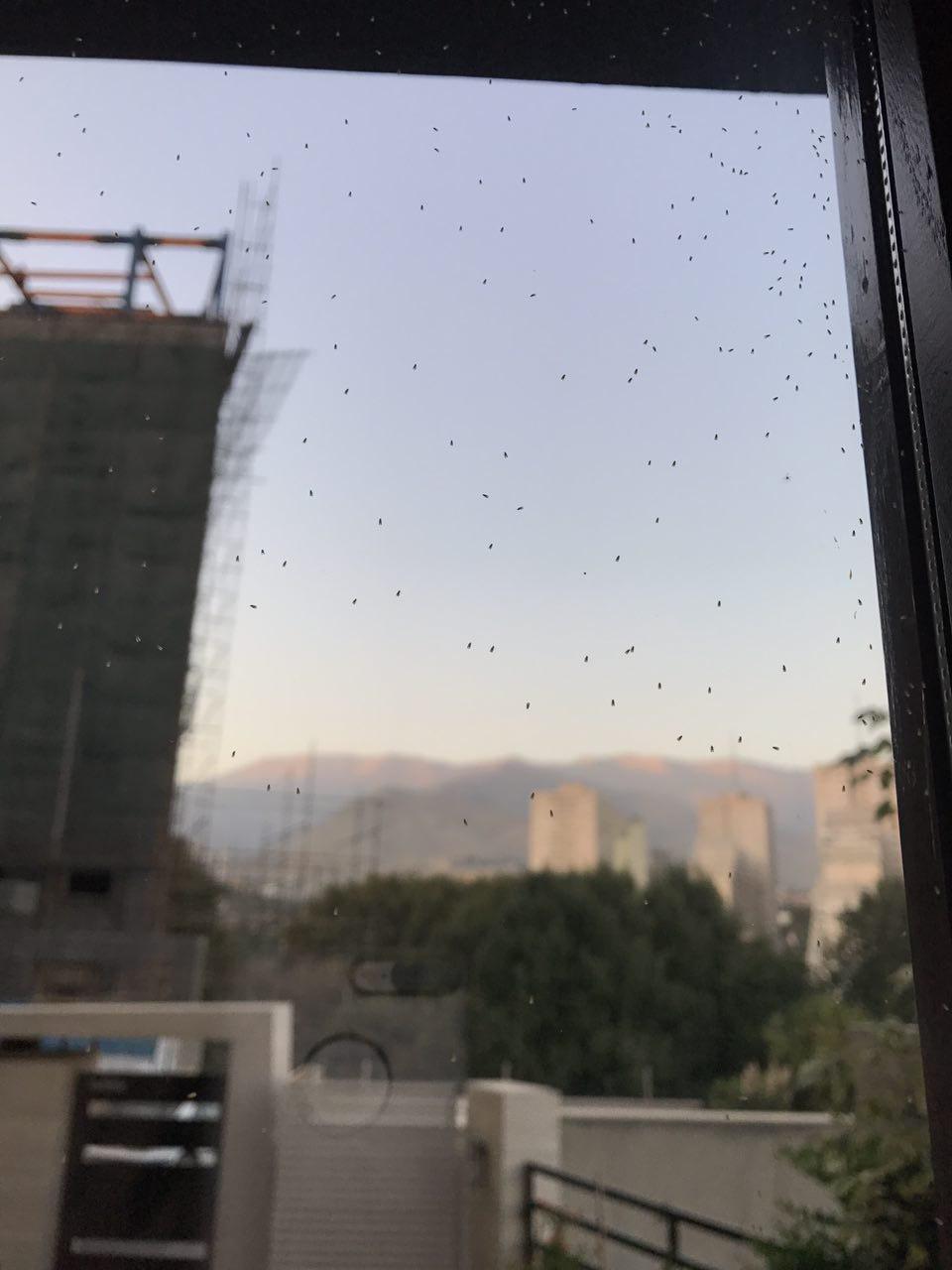 Aleuroclava jasmini Tehran Iran